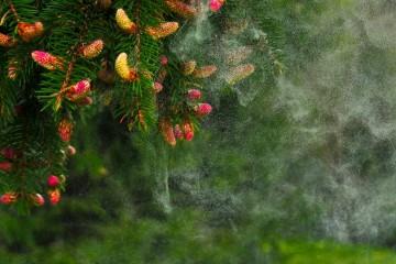 explosion polen